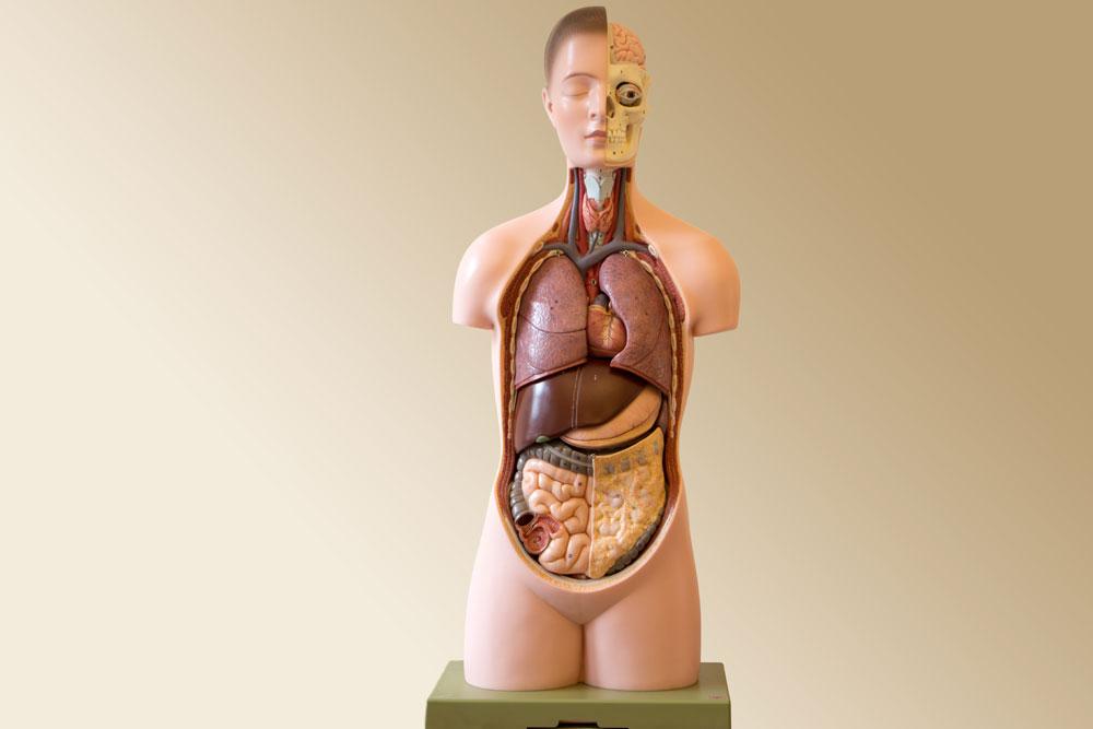 Modell des Menschen